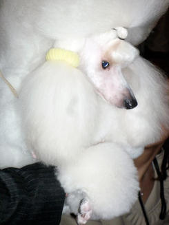 Poodle backstage in the benching area at Westminster Dog Show
